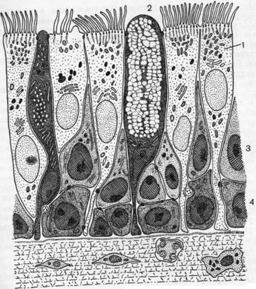 В верхней части клетки...  Рис. 4. Схематическое изображение эпителия трахеи человека (по Rhodin, 1966).
