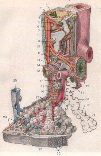 Гистологическое строение